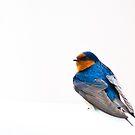 Blue Bird by onehappycamper