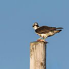 Osprey 2016-3 by Thomas Young