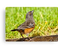Spotted Towhee Looking Up Canvas Print