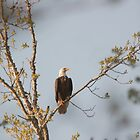 Jordan Lake, NC Eagle Cam Parent by Denise Worden
