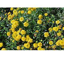 Bush of yellow flowers. Photographic Print