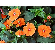 Orange flowers and green leaves. Photographic Print