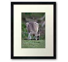 Grazing Kangaroo Framed Print