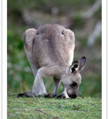 Grazing Kangaroo Sticker