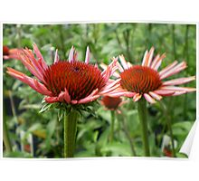 Echinacea Twins Poster