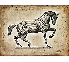 Anatomical engraving of a horse Photographic Print
