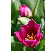 Pink Tulip 1 Photographic Print