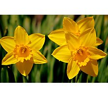 Two & a half daffs Photographic Print