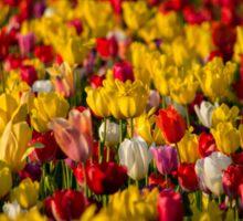 Tulips upon Tulips... Sticker