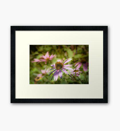 Echinacea - textured Framed Print