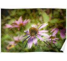 Echinacea - textured Poster