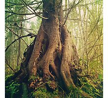 Old Growth Photographic Print