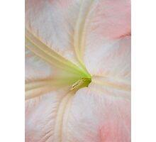 Angel Trumpet Flower Photographic Print