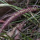 Purple grass seeds Leith Park Victoria 20151221 6489   by Fred Mitchell