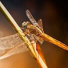Golden Dragonfly 002 by kevin chippindall