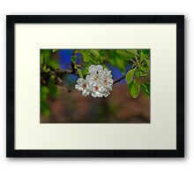 Blossom cherry in its own shadow Framed Print
