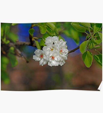 Blossom cherry in its own shadow Poster