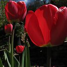 Tulips by KMorral