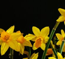 Yellow Daffodils on black background Sticker