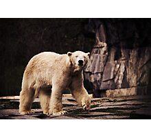 bear, polar bear Photographic Print