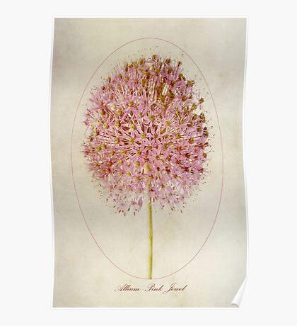 Allium Pink Jewel Poster