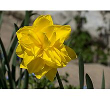 Sunny Yellow Spring - a Golden Double Daffodil Photographic Print