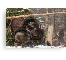 Turkeys feeding on corn Metal Print