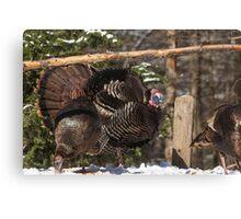 Turkeys feeding on corn Canvas Print