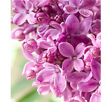 Blooming Lilac Photographic Print