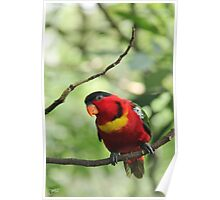 Eastern Black-capped Lory Poster