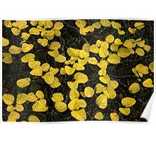 Fagus changing colours - Tasmania Poster