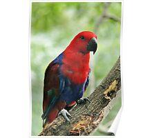 Kela- Female Eclectus Parrot Poster