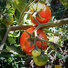 Tomatoes by HeidiArts