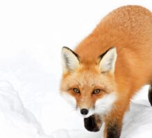 Red Fox - Algonquin Park Sticker