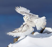 Air Snowy - Snowy Owl by Jim Cumming