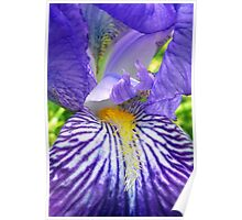 Purple Bearded Iris Monsignor Macro Poster