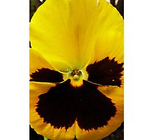 Golden Black Eyed Pansy Violet Yellow Flower Photographic Print