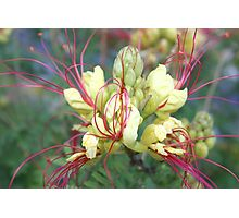 Mexican Yellow Bird of Paradise with Pink Pistil Photographic Print