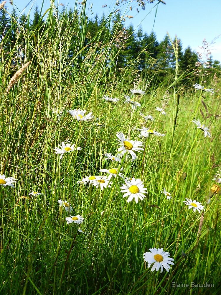 Wild Daisies and Grasses by Elaine Bawden