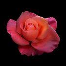Rose Portrait by Floyd Hopper