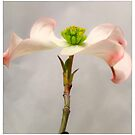 Dogwood Profile by Barbara Wyeth
