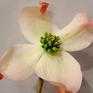 Dogwood Blossom by Barbara Wyeth