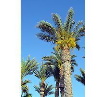 Tall palm trees against the blue sky. Photographic Print