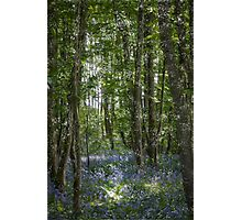 painting style image of bluebell wood in spring Photographic Print