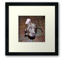 I'm All Ears - Blue Pit Bull Framed Print