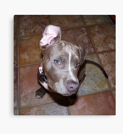 I'm All Ears - Blue Pit Bull Canvas Print