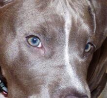 I'm All Ears - Blue Pit Bull Sticker