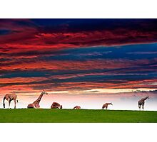 giraffes resting in the sunset Photographic Print