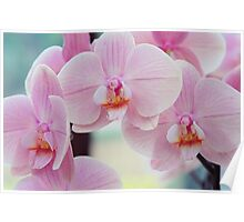 Beauty of Pink Phalaenopsis Orchids Poster