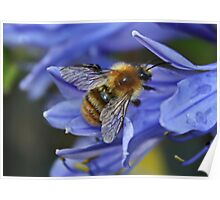 Bee on Agapanthus Poster